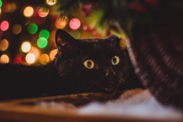 black cat stares at plant with christmas lights in the background