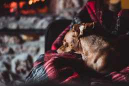 small dog sits on black and white blanket on couch near fire