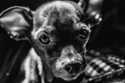 close up of small dog's face, in black and white