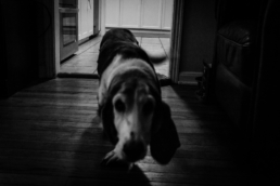 basset hound runs out of kitchen, in black and white