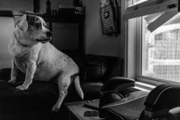 white dog with black speckles sits on the arm of a chair, staring out the window