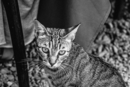 tabby cat stares off into distance, in black and white