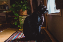 black cat stares out the window of a door